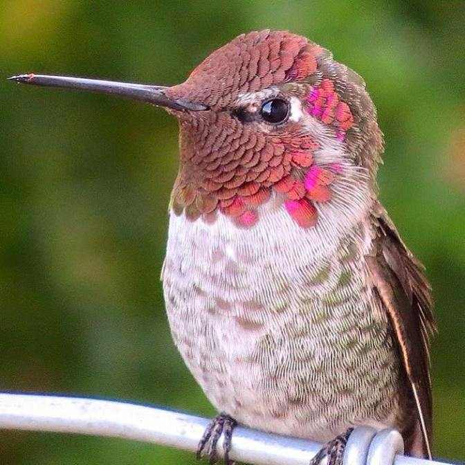 Just a Photo of a Beautiful Thing: Anna's Hummingbird