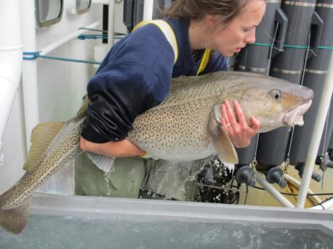 The great northern cod comeback