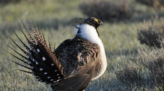Unprecedented Conservation Efforts Keep Greater Sage-Grouse Off Endangered Species List