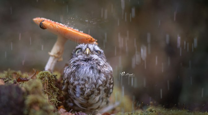 Just a Beautiful Photo: Little Owl Shelters Under a Mushroom
