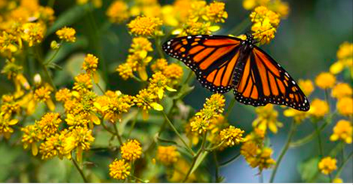 """Positive Action You Can Take: Inviting Local Leaders to Take the """"Mayor's Monarch Pledge"""""""