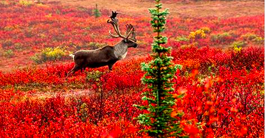 The Fantastic Fall Migration of North American Caribou