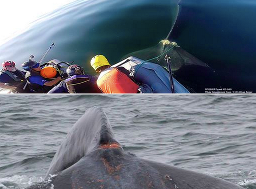 Whale Healing Nicely Two Months After Caught in Fishing Line