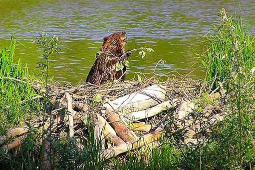 Busy Beavers Fix Pollution Problems