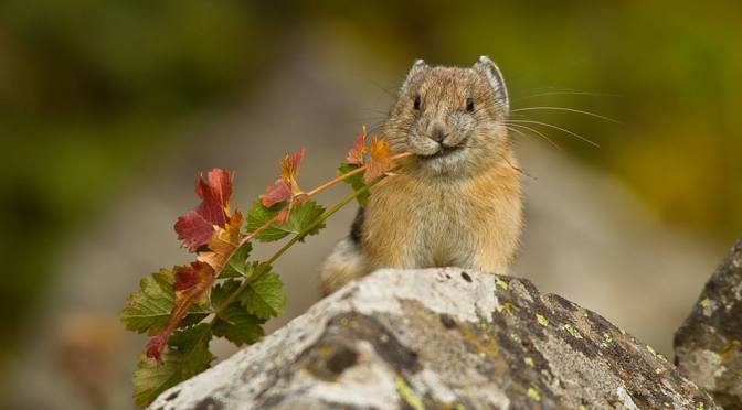 A Beautiful Photo: Little Pika
