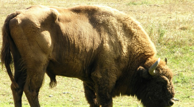 The Resurgence of the European Bison
