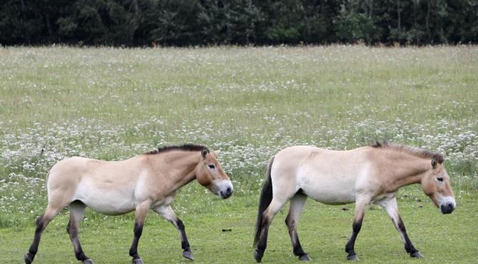 Rewilding: The Last Truly Wild Horses Return Home