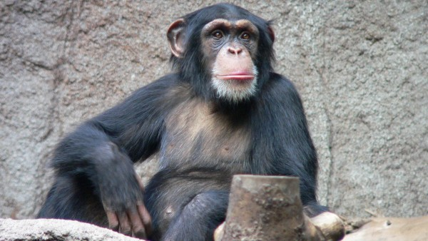 A Good Day for Chimps