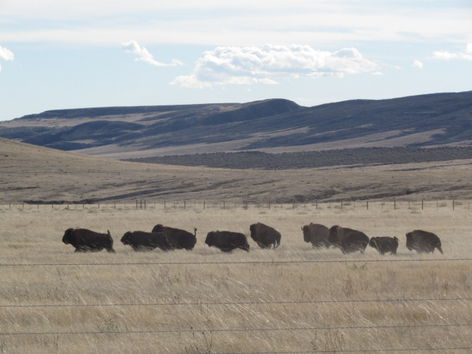 Wild Bison Return to Colorado