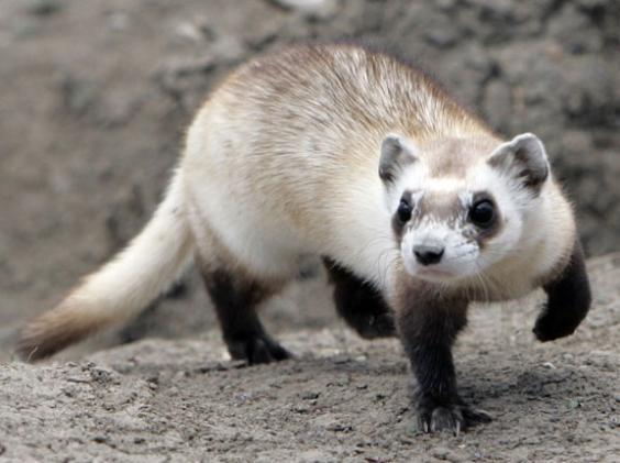 ReWilding Endangered Black-Footed Ferrets in Colorado