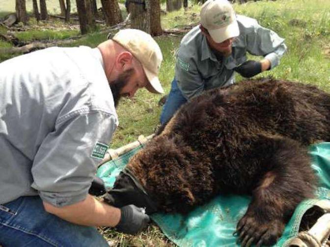 Yellowstone Grizzly Population is Growing